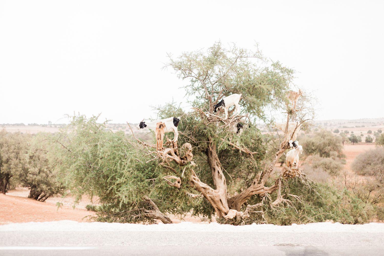 Marrakesh Marokko Ziegen auf dem Baum Dattelziegen